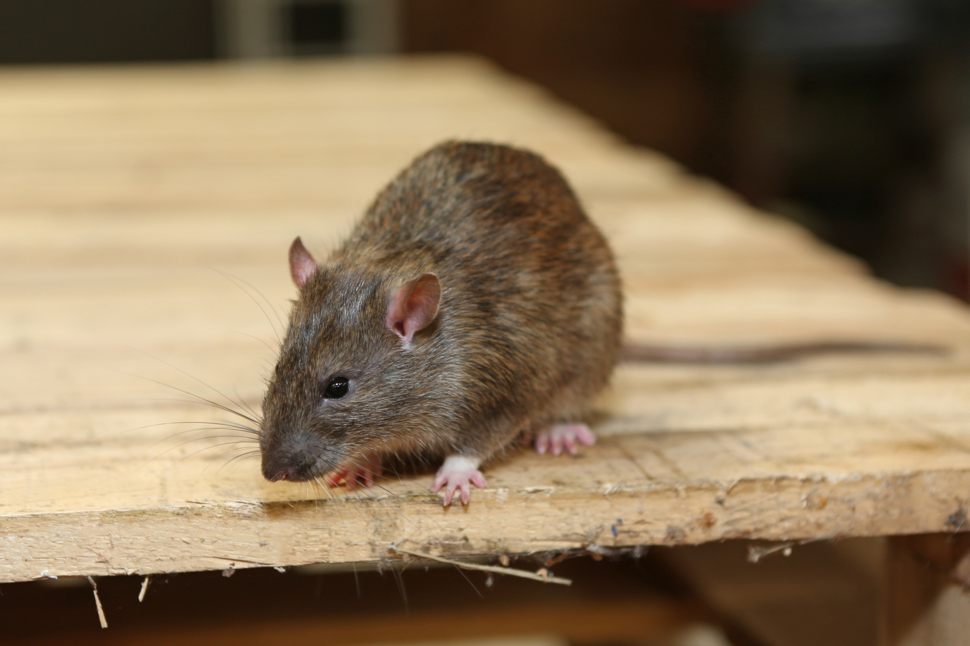 Rat Control, Pest Control in Loughton, High Beach, IG10. Call Now 020 8166 9746