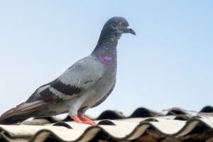 Pigeon Control, Pest Control in Loughton, High Beach, IG10. Call Now 020 8166 9746